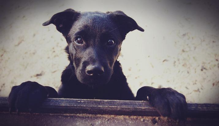 Собака, черная, красивая собака, пес
